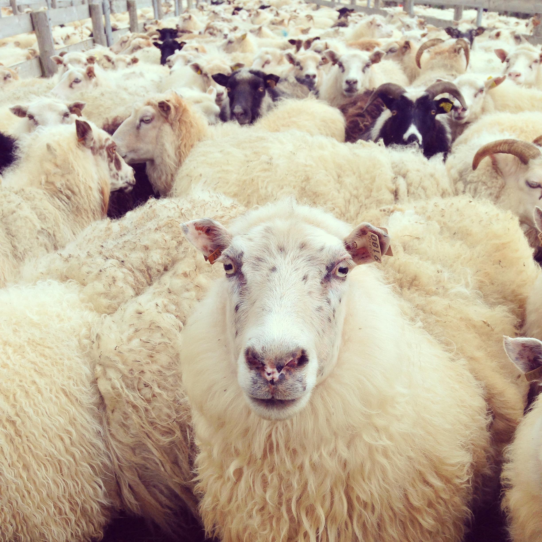 sheepface