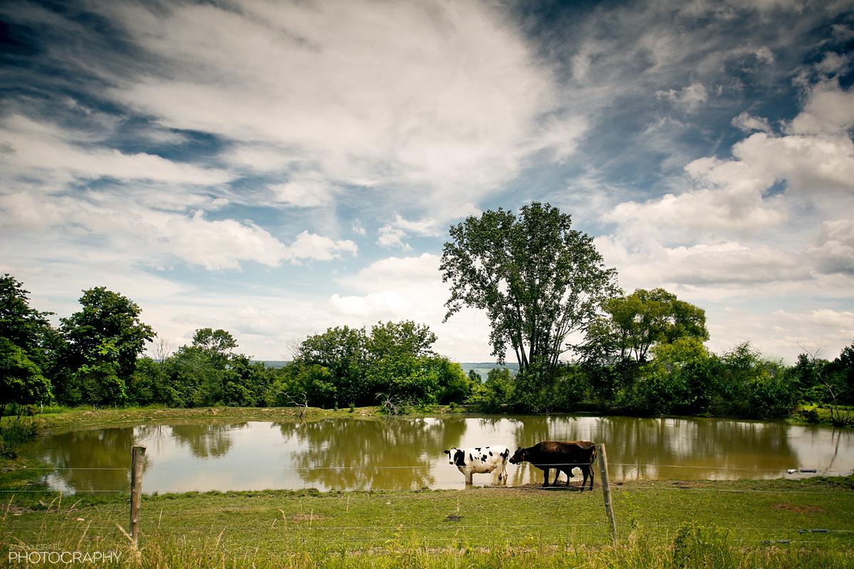 Cows_1.jpg