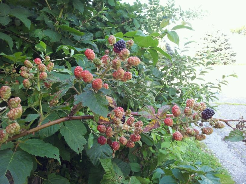 We are blessed to have wild blackberries growing along side our driveway.
