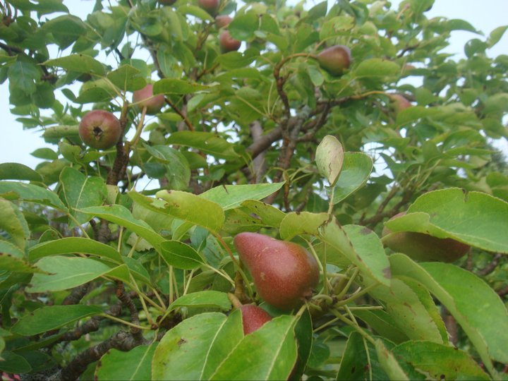 We grow both red and green pears.