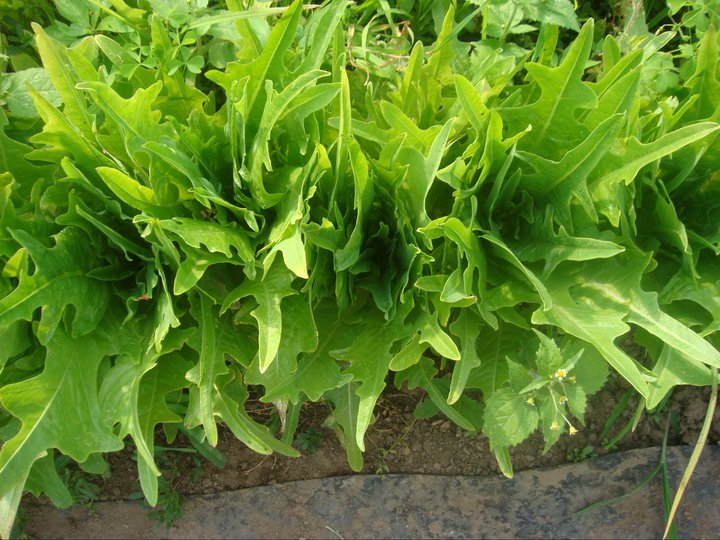 This is a type of oak leaf lettuce, one of many varieties that we grow each year.