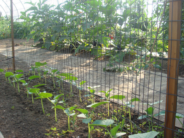 Cucumbers just starting to grow inside of our greenhouse. The fence trellis will give them something to cling to.