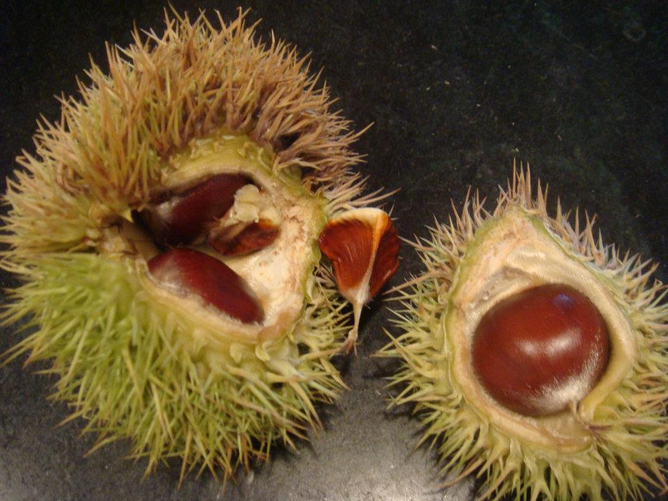 We gather chestnuts in the fall.