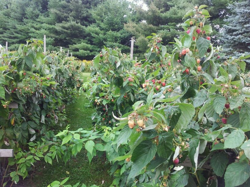 Caroline Raspberries - they grow over 6 feet tall! Bees are always buzzing and busy in our raspberry garden.
