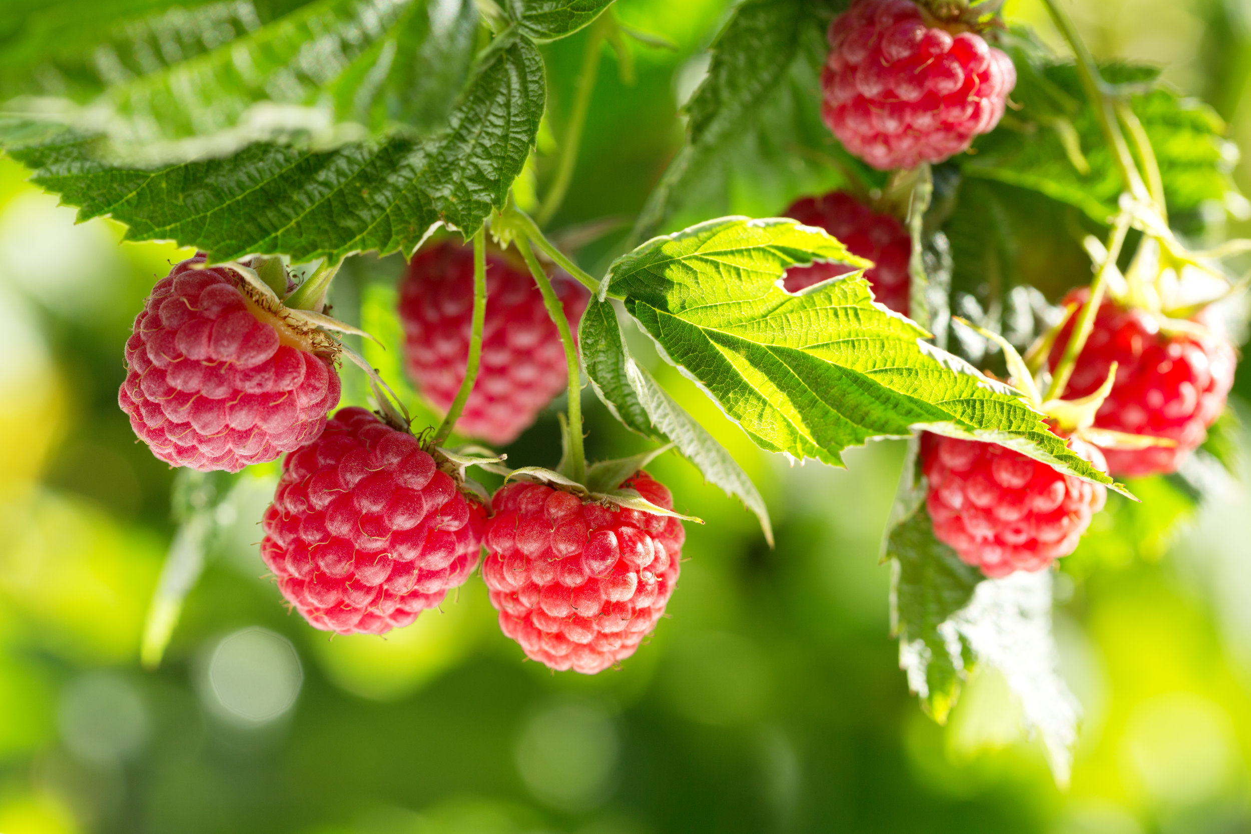 Heritage raspberries
