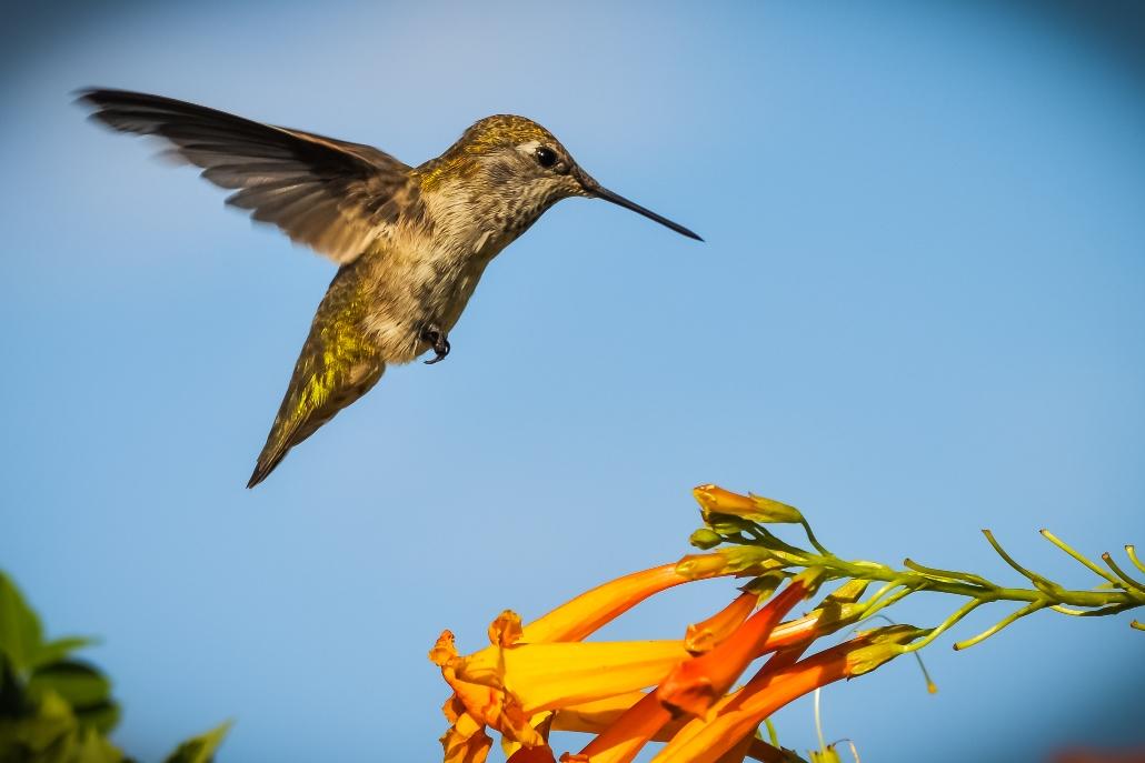 Hummingbird Orange-1.jpg