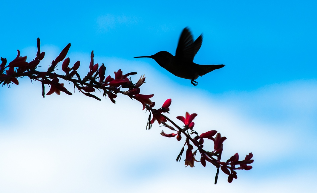 Hummingbird sillouette-1.jpg