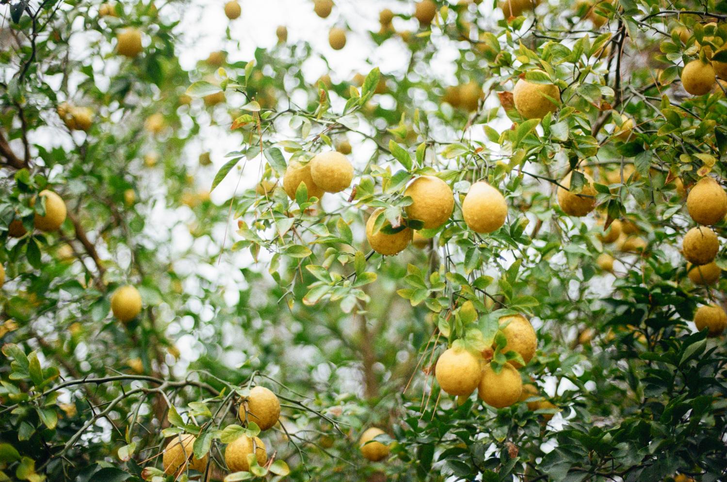 1511 lemon orchard1.JPG