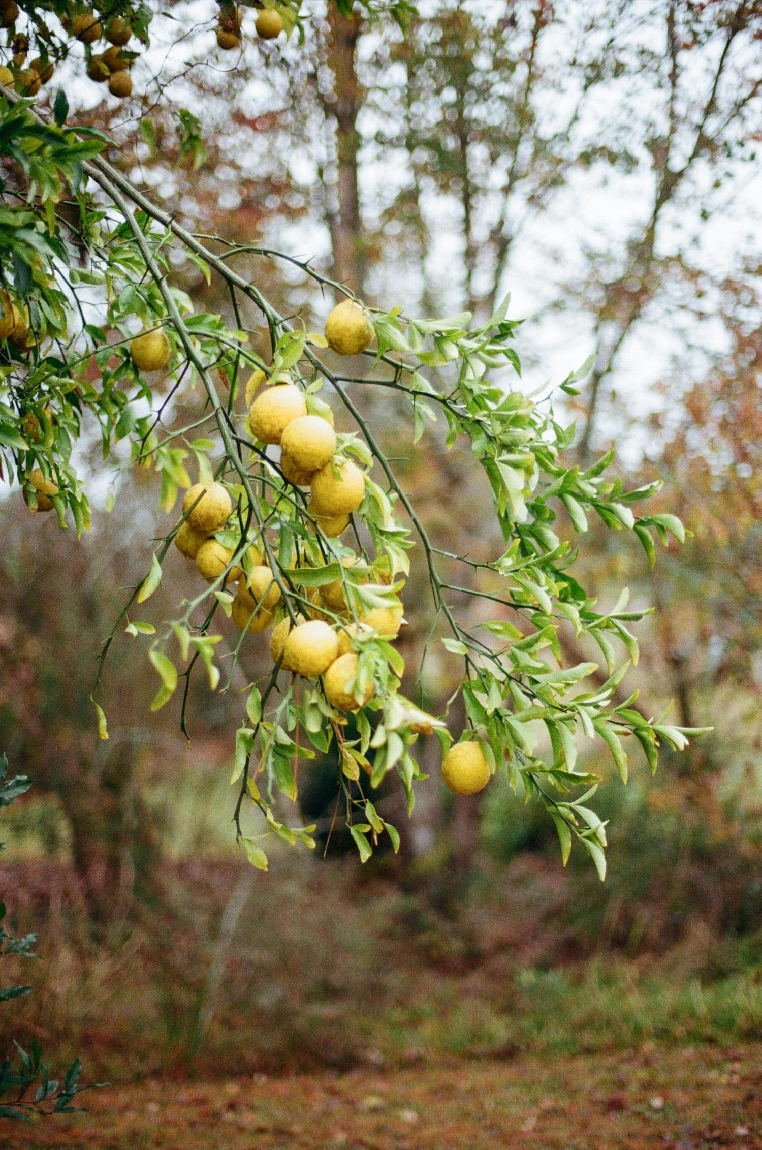 1511 lemon orchard2.JPG