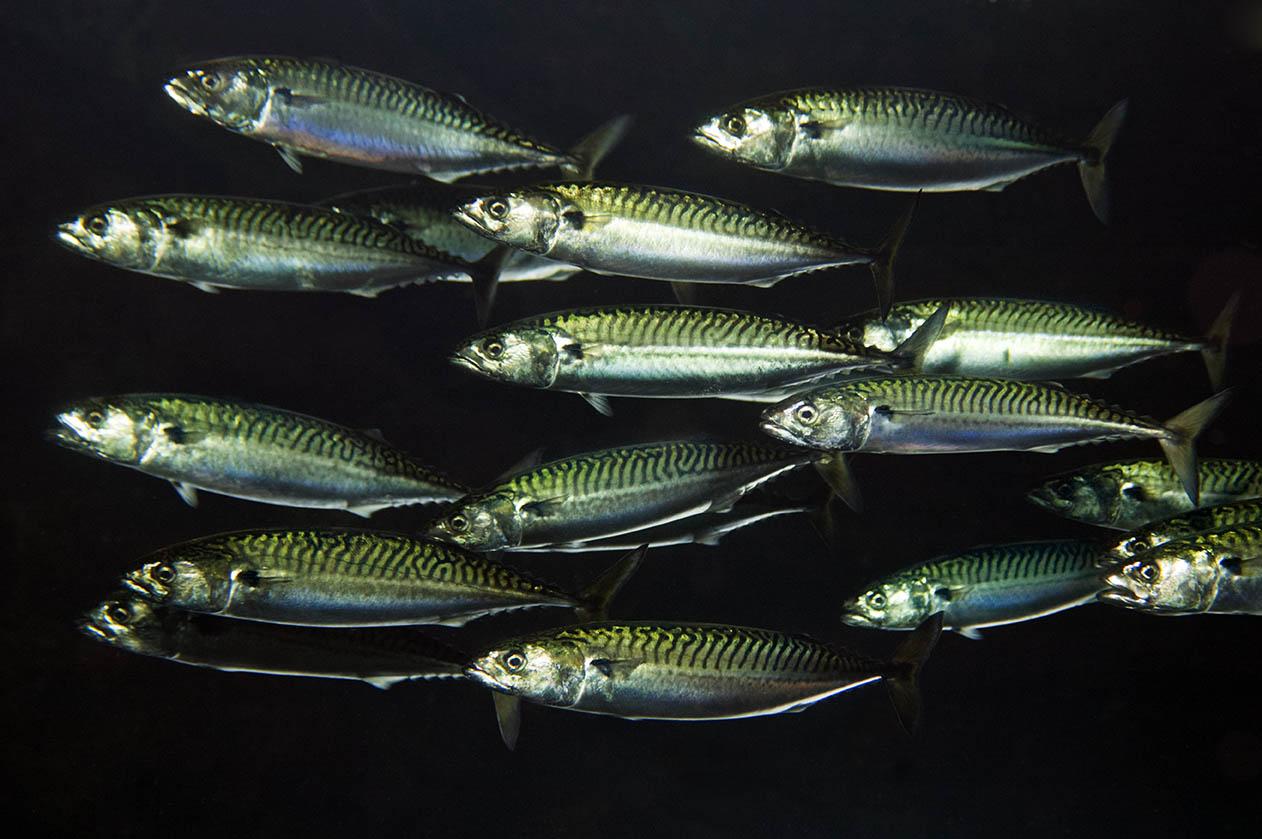 19-mackerel-OCEAN2012-Magnus-Lundgren-WWE-web.jpg