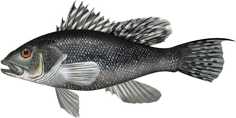 2011-06_bass_black seaFNL_NB.jpg