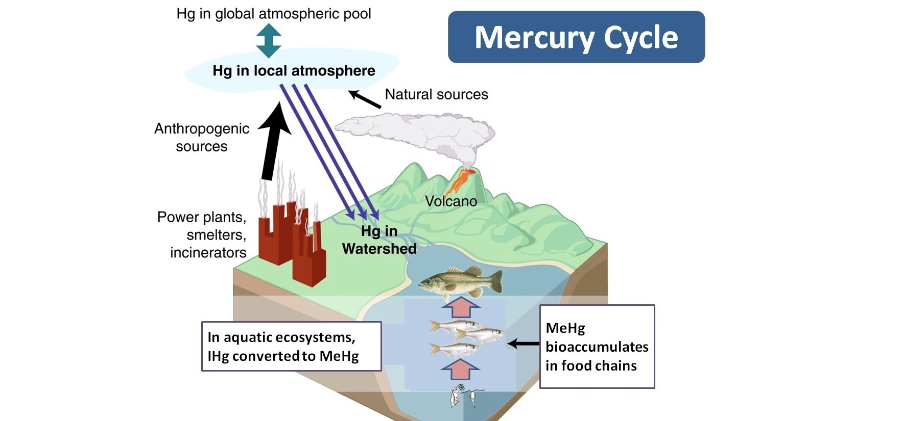 A diagram of the mercury cycle (Courtesy of the  TCU Aquatic Ecology Lab )