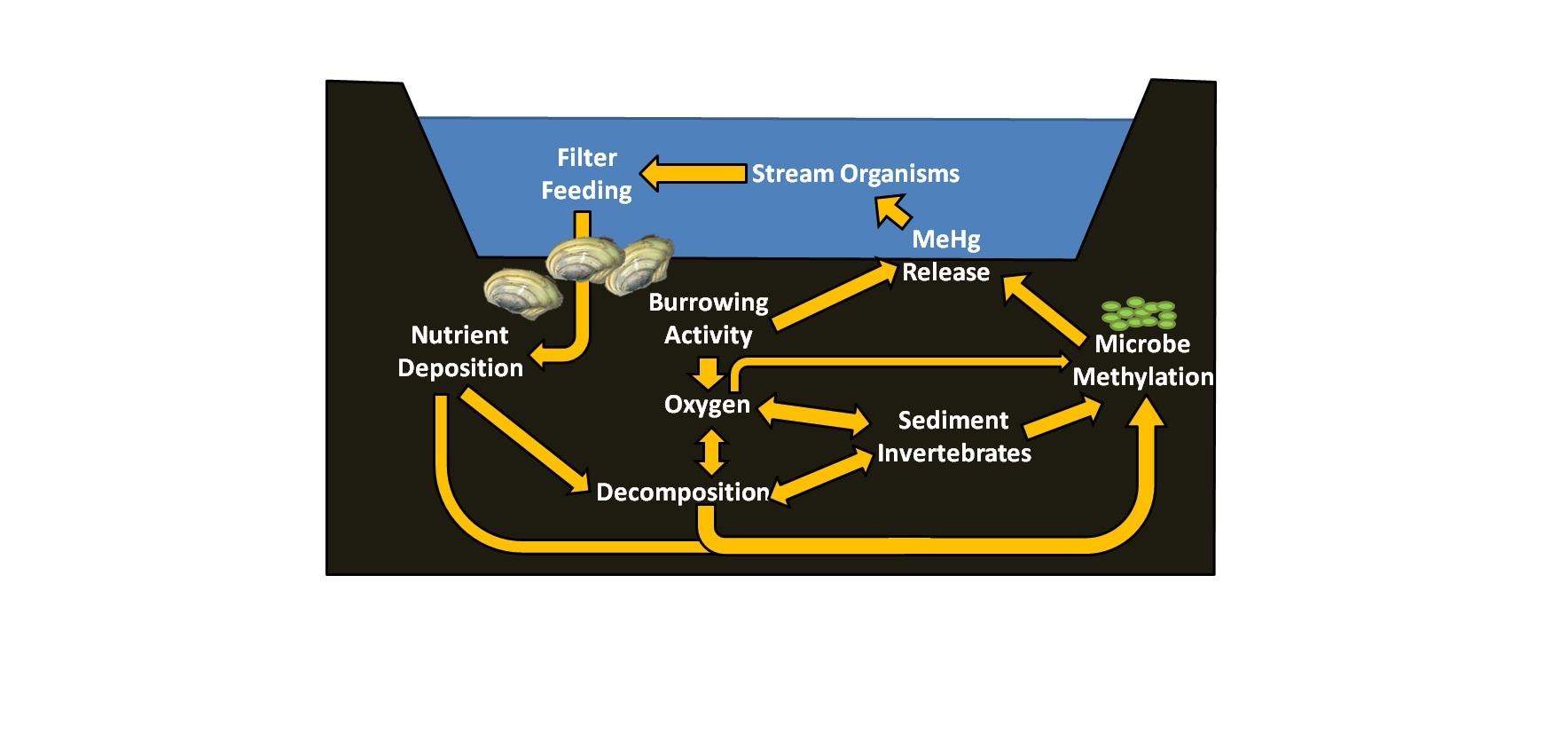 A conceptual diagram of the potential effects of mussels on mercury methylation and release from aquatic sediments.
