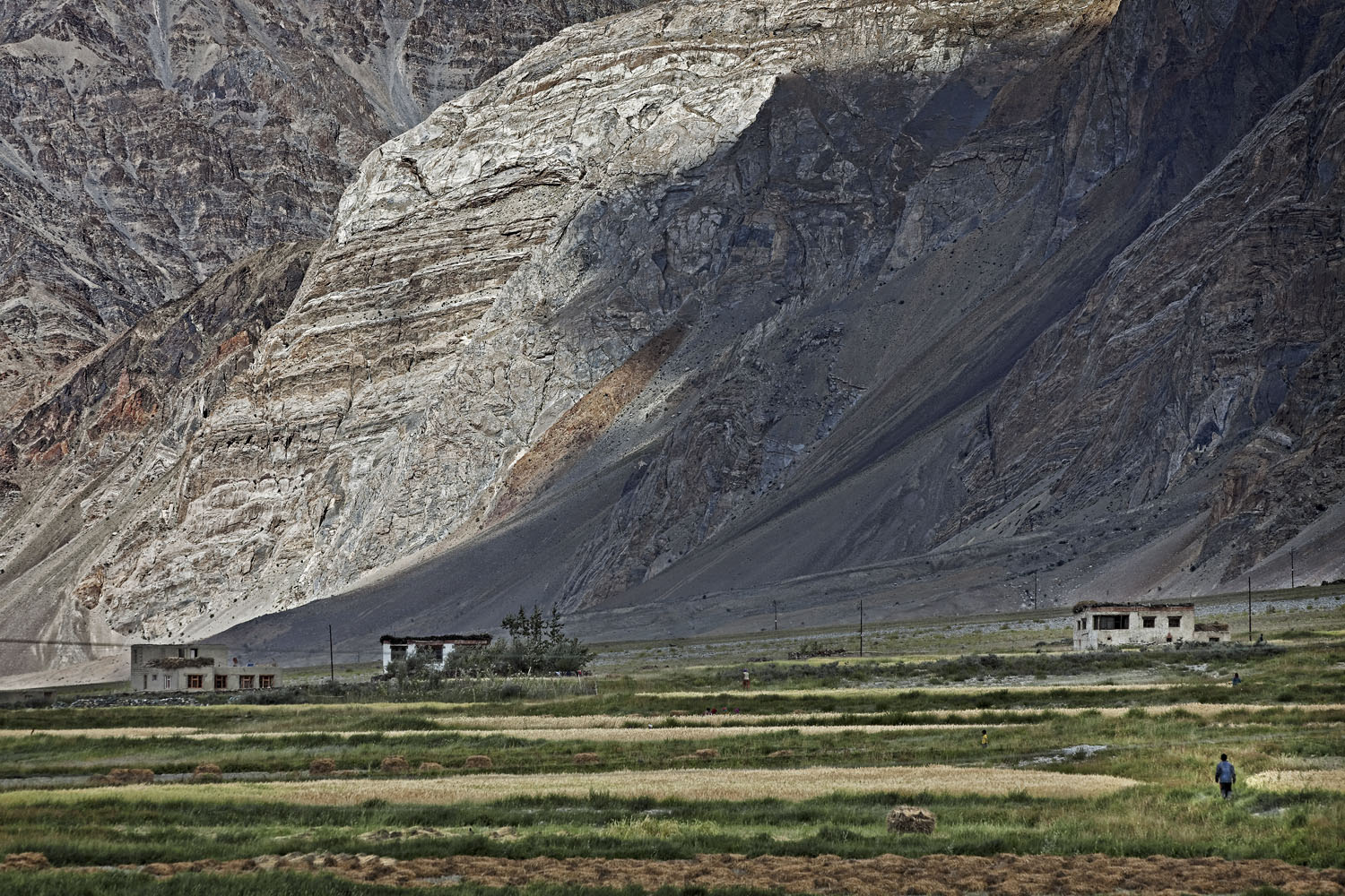 Barley fields, Stongde, Zanskar, India