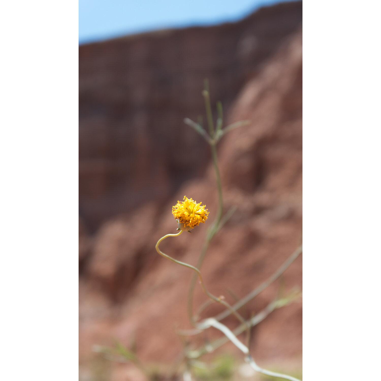 Mountain Flower Bud  2015