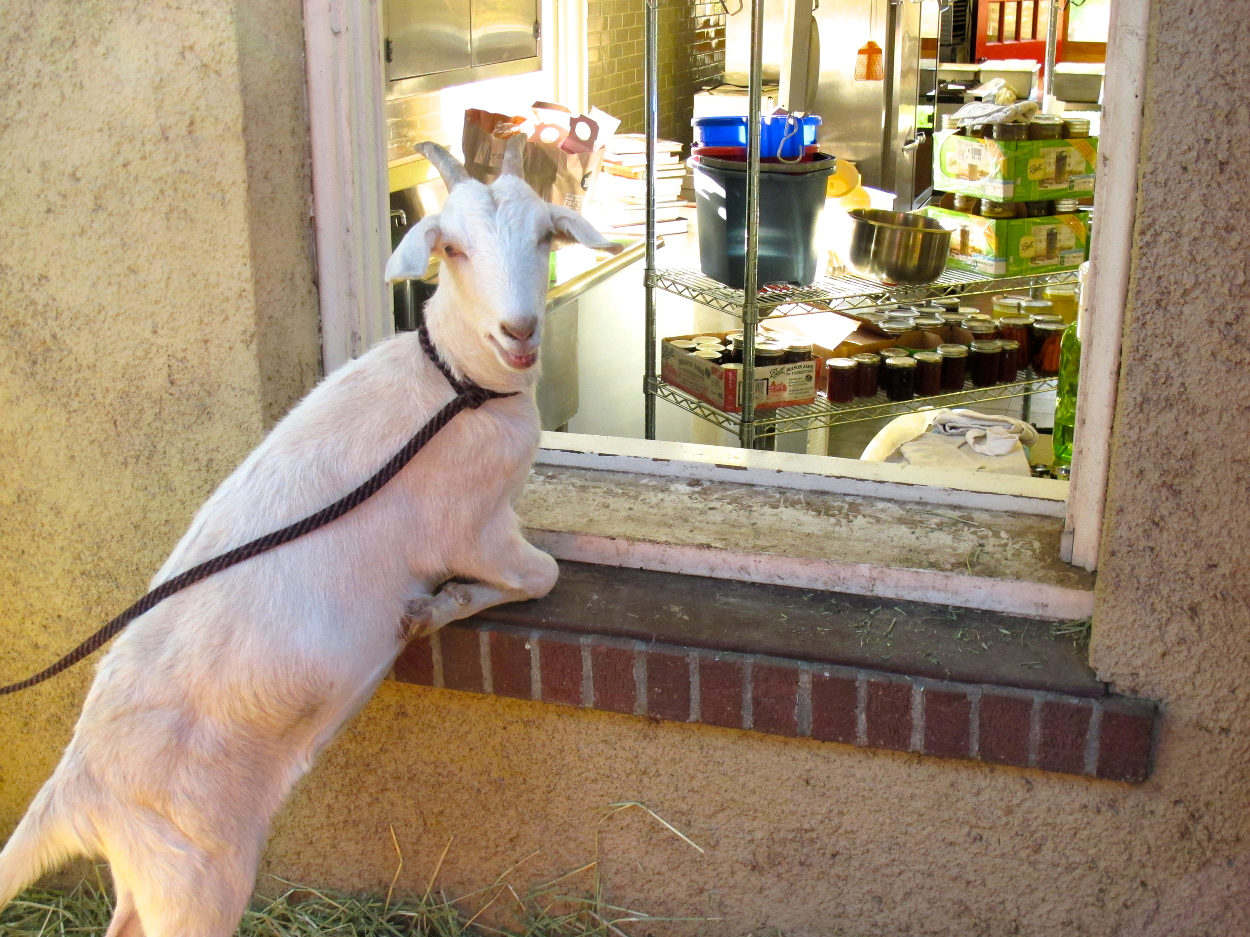 This goat is almost literally bringing fresh milk right into the kitchen