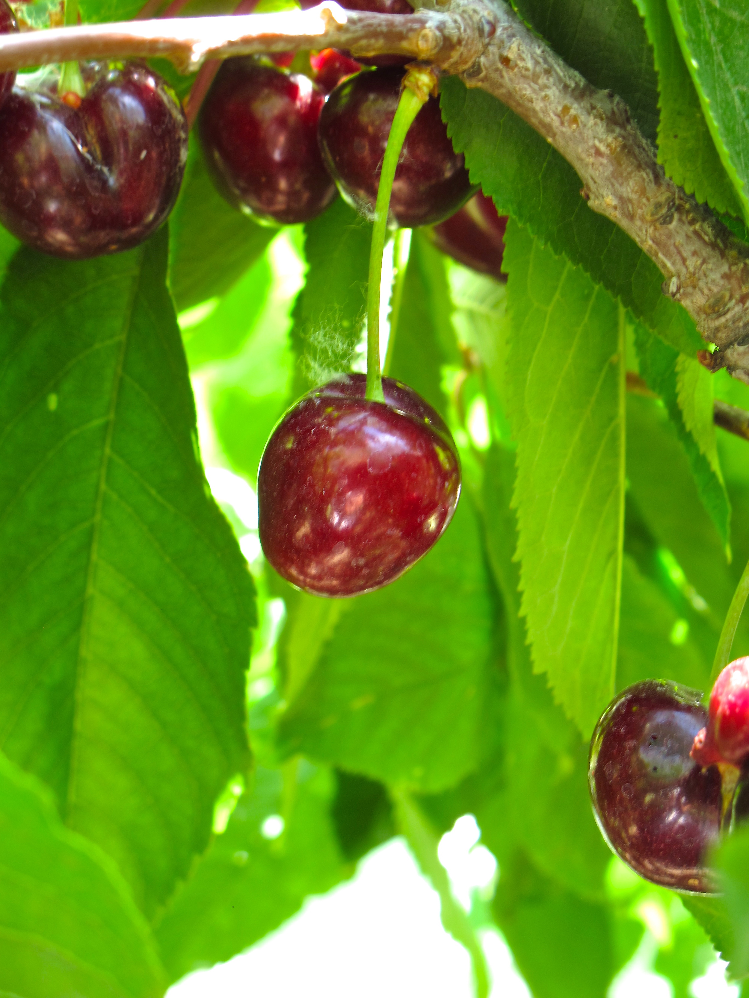 Leona Valley Cherries — Tasting Page