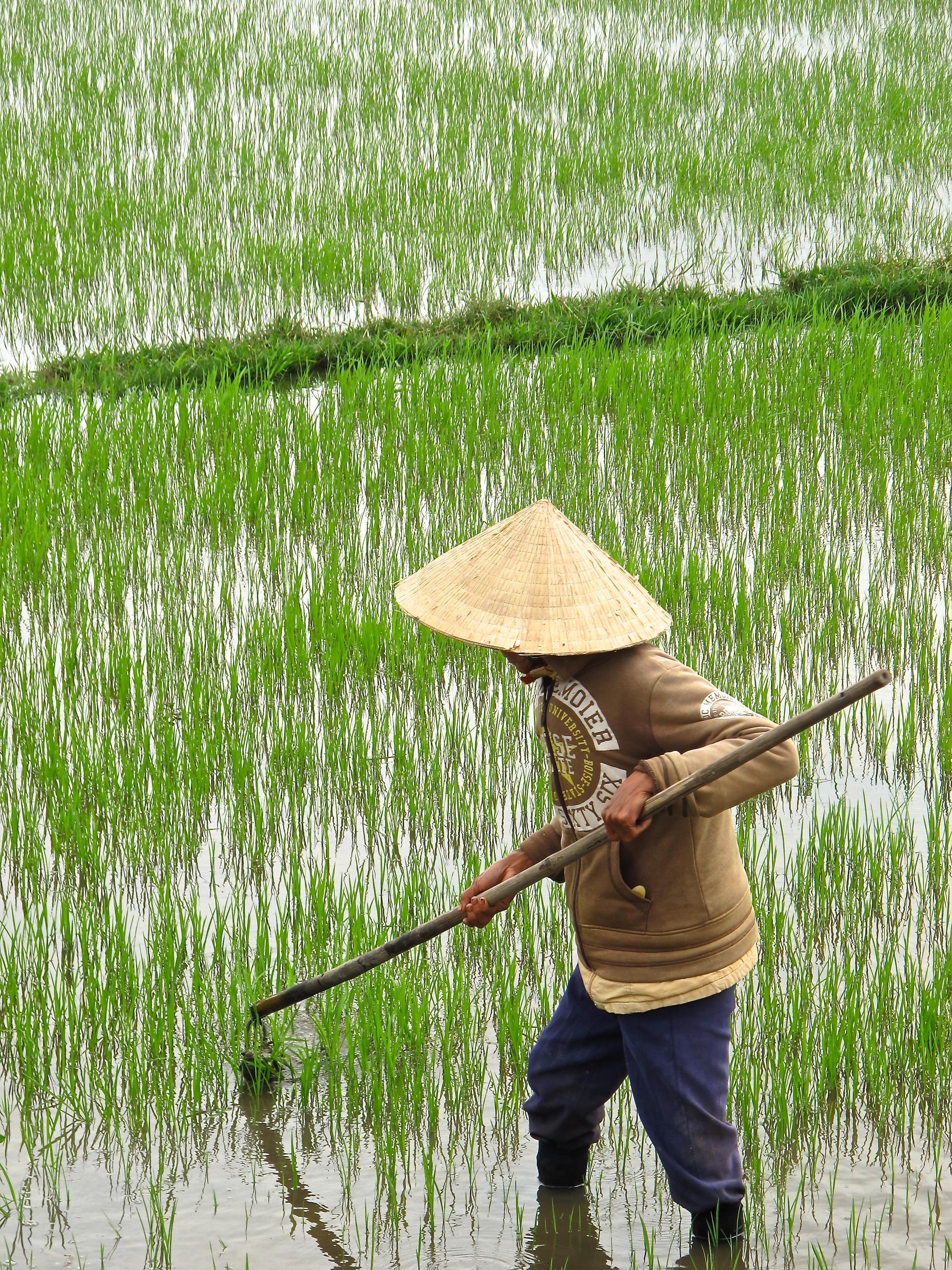 Vietnam rice paddy