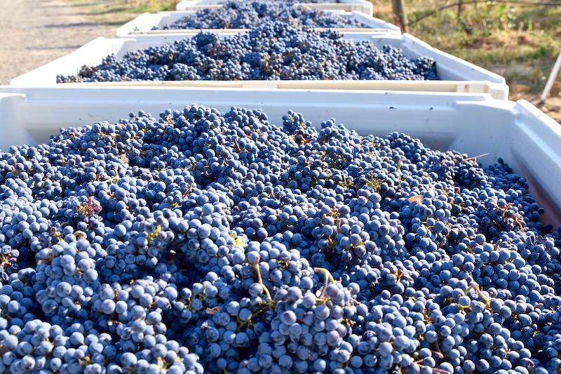 Walla Walla grapes.jpg