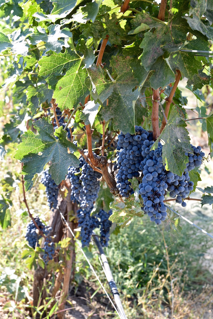 Wine grapes WA.jpg