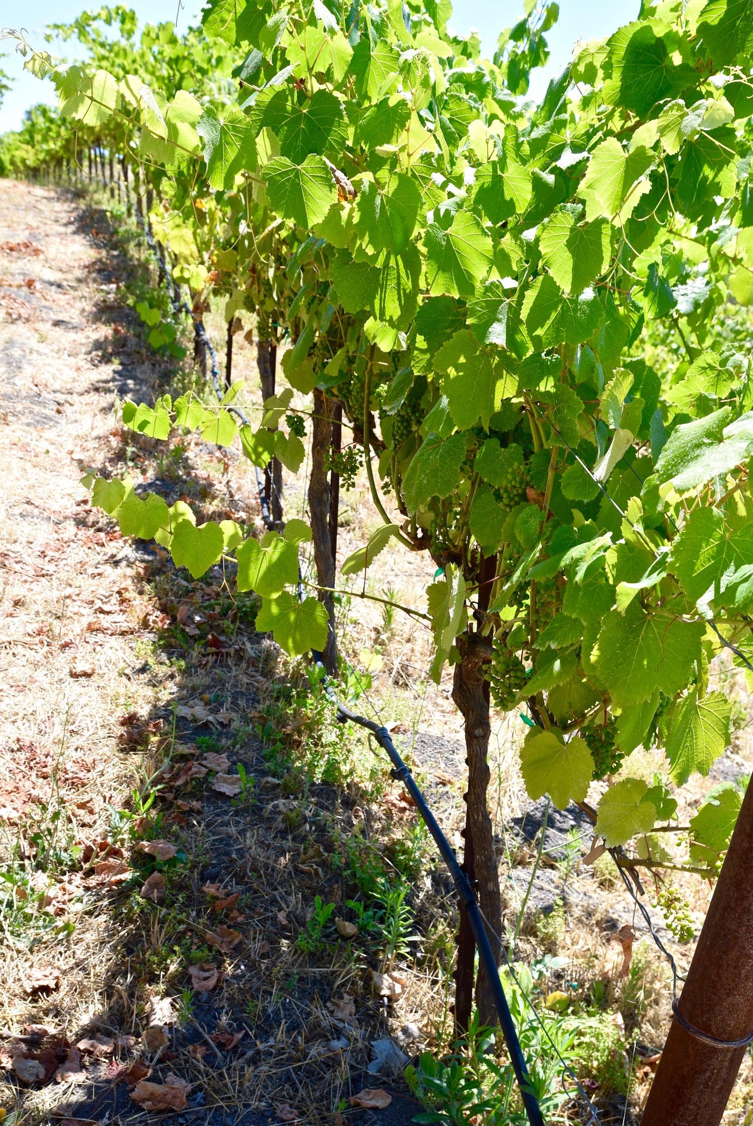 Sinor LaVallee vineyard