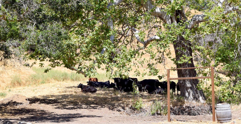 Filipponi Ranch cows.jpg