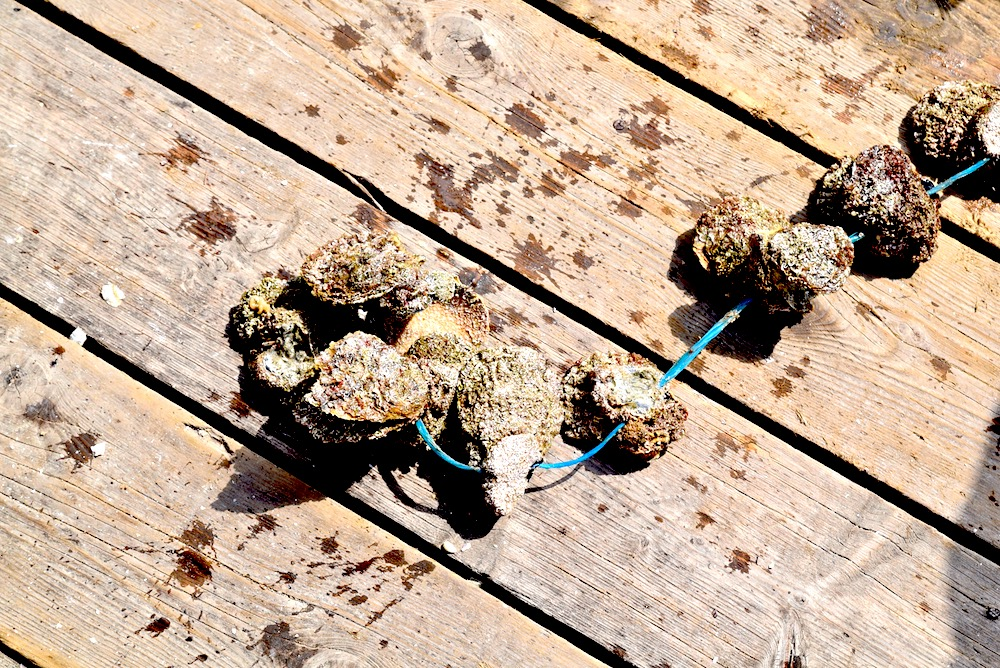 oyster line.jpg
