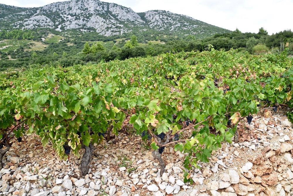 Croatian vineyards.jpg