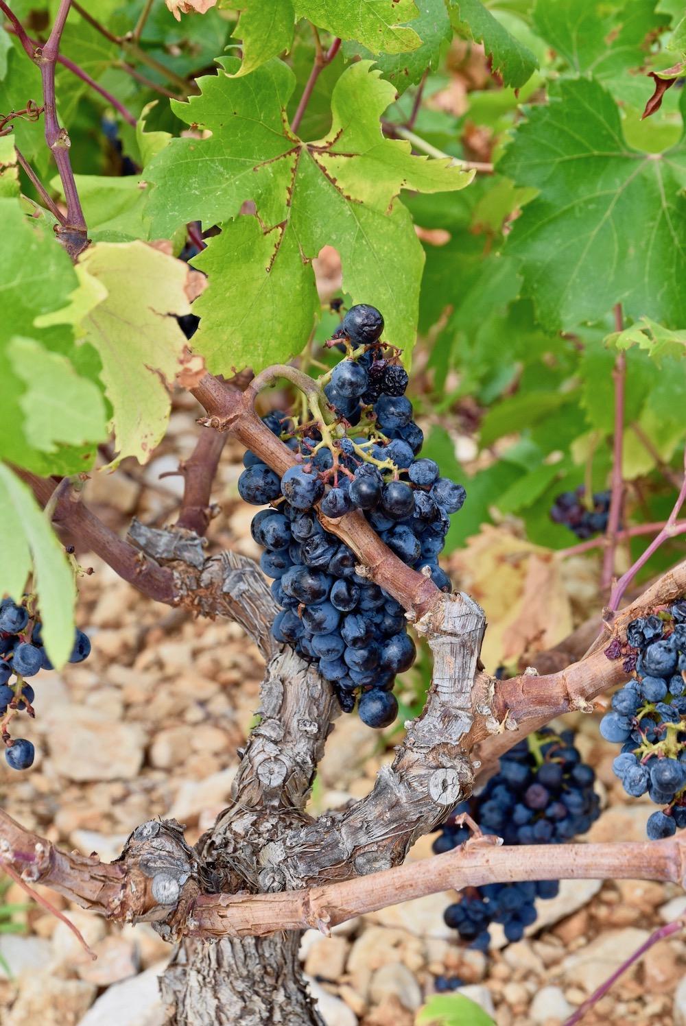 wine grapes.jpg