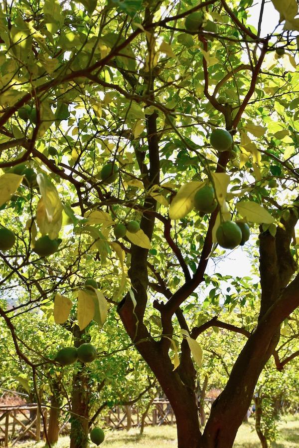 Sorrento lemon trees.jpg