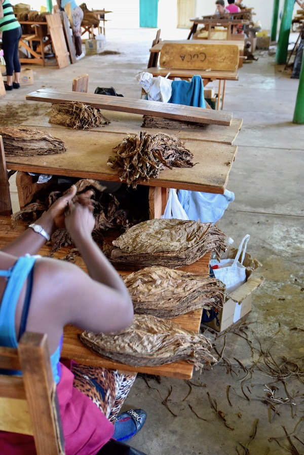 Vinales tobacco sorting.jpg