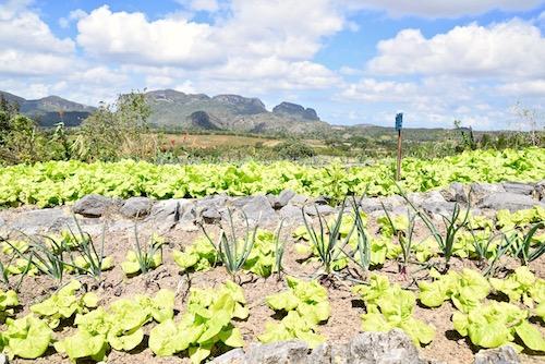Finca Agroecologica Vinales garden.jpg