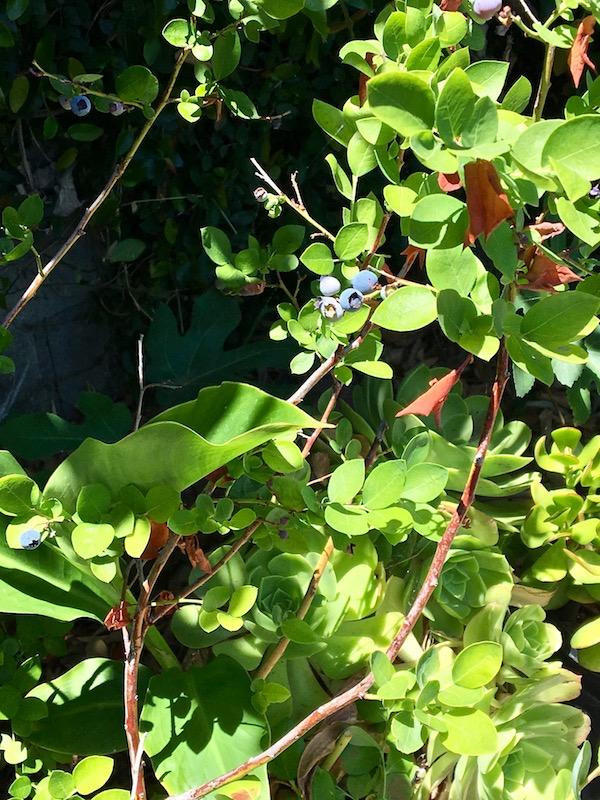 Gangsta Gardener blueberries.jpg