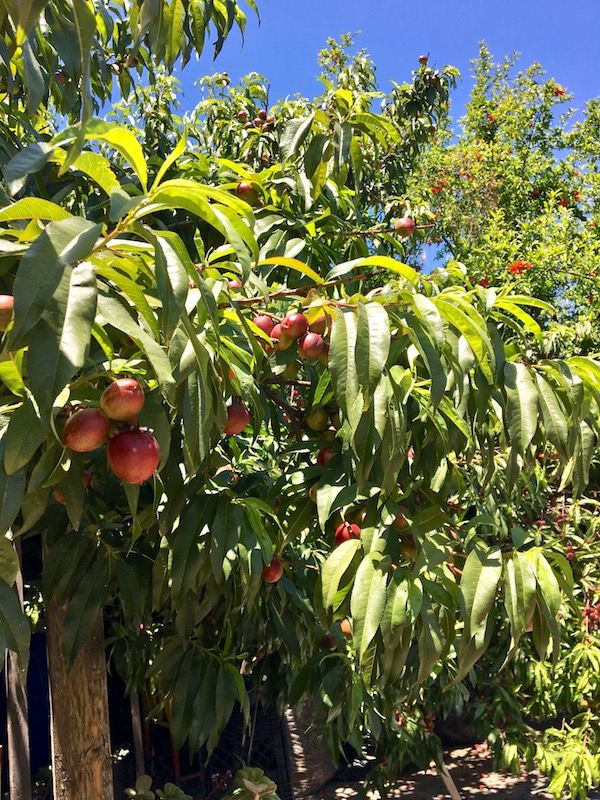 Gangsta Gardener fruit.jpg