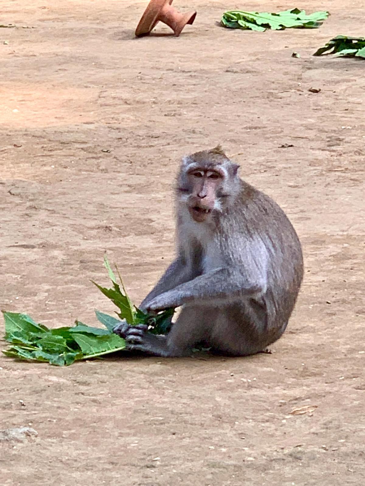 monkey ubud.jpeg