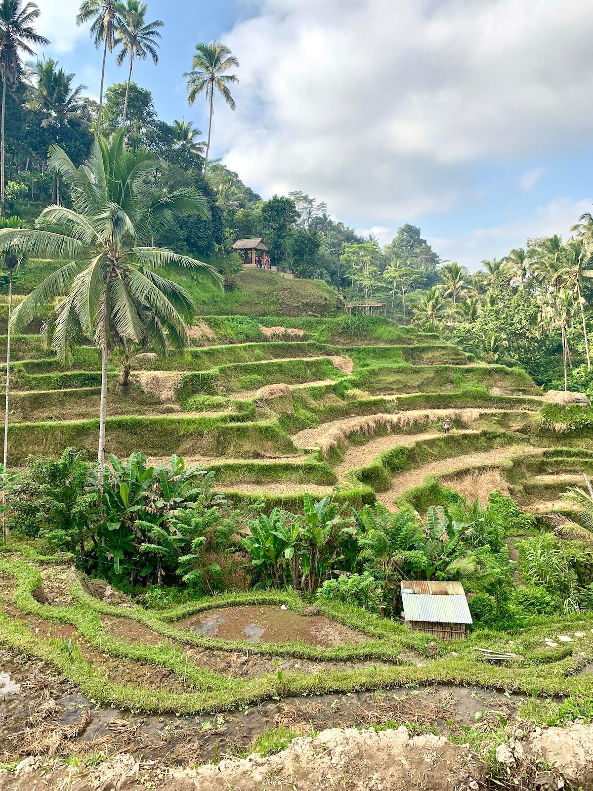 Tegalalange rice terraces Bali.jpeg