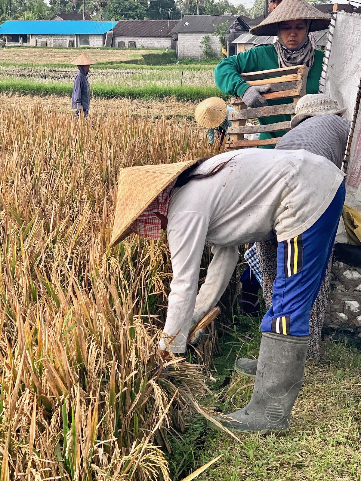 Rice picking.jpeg