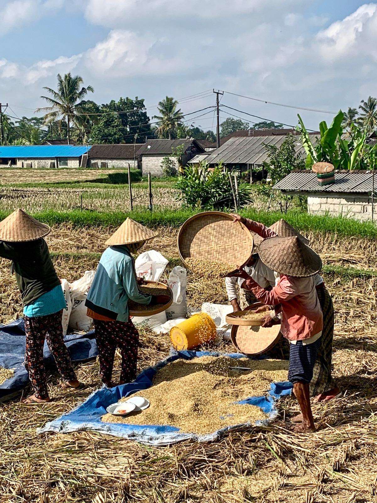 Rice drying.jpeg