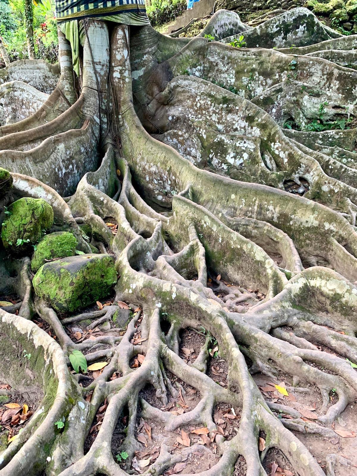 Goa Gajah big tree.jpeg