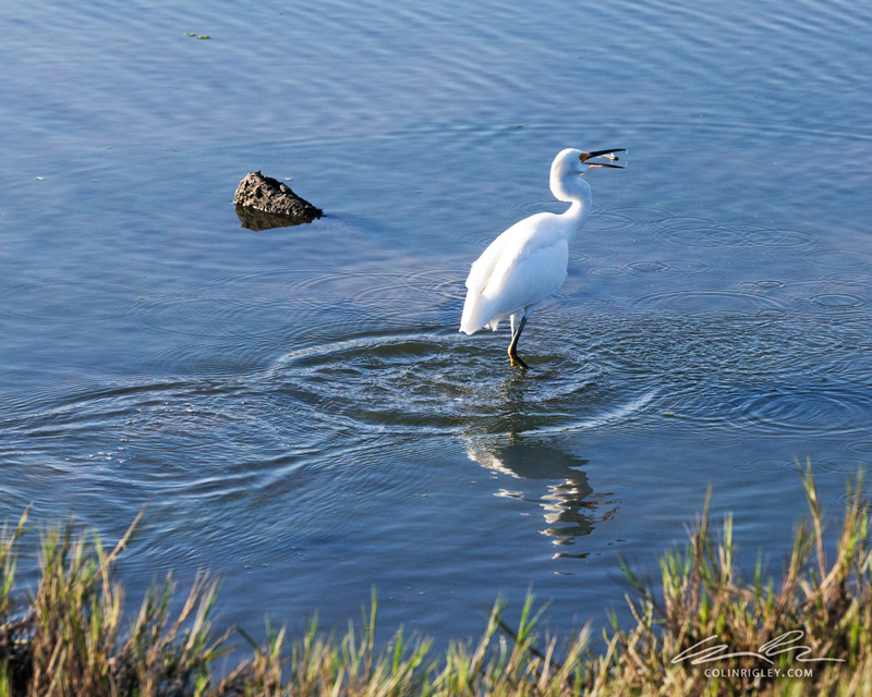 Heron_Fish_CR.jpg