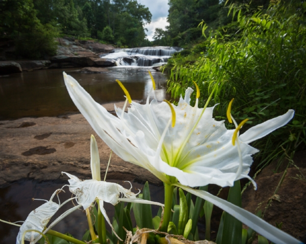 Spider lily planted by tommy wyche in falls park, greenville. Photo © Mac Stone