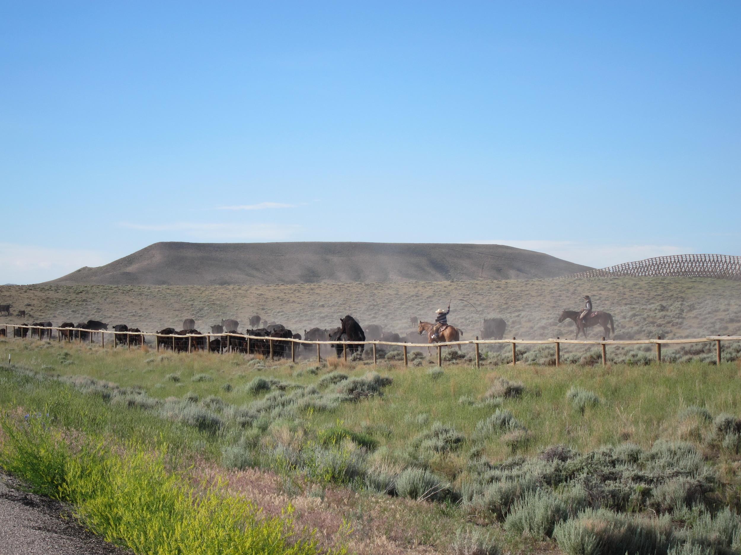 Herding cattle.