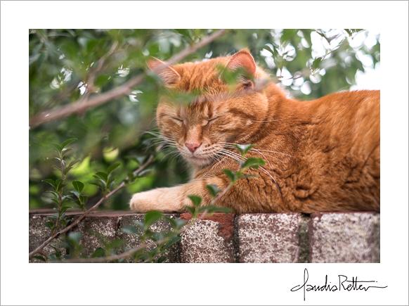 Sherman, my orange tabby cat.