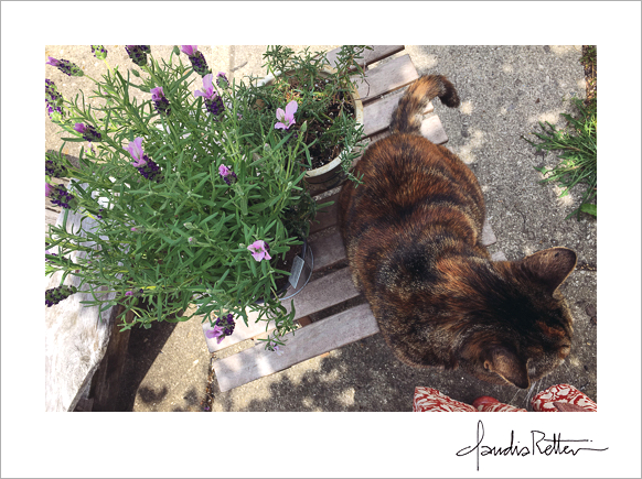 Miss Kid, my little old lady cat, photographed with a pot of lavender.