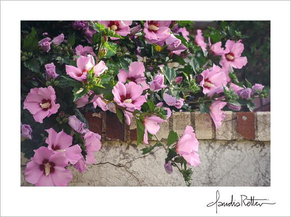 The hibiscus tree.