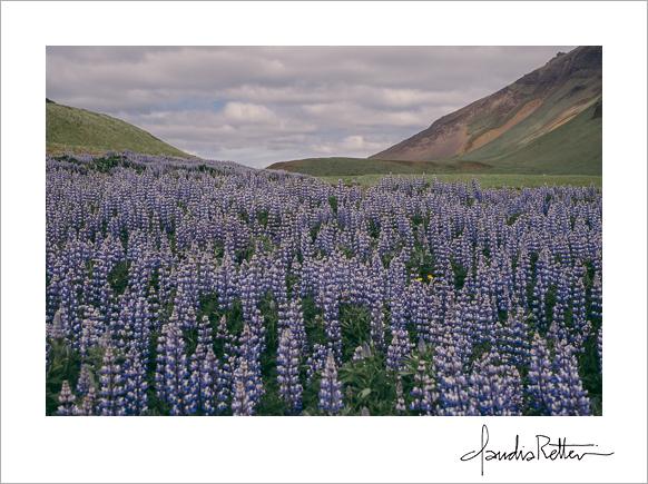 Field of lupines in Vik.