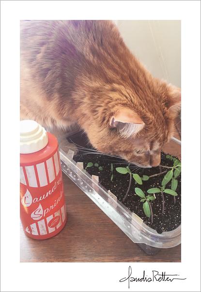 Orange cat with tomato seedlings