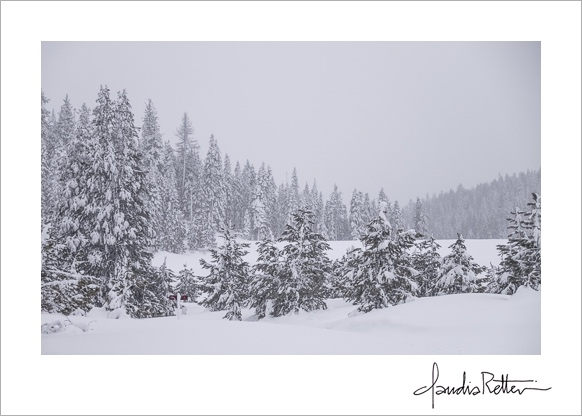Tall trees and snow, Tahoe