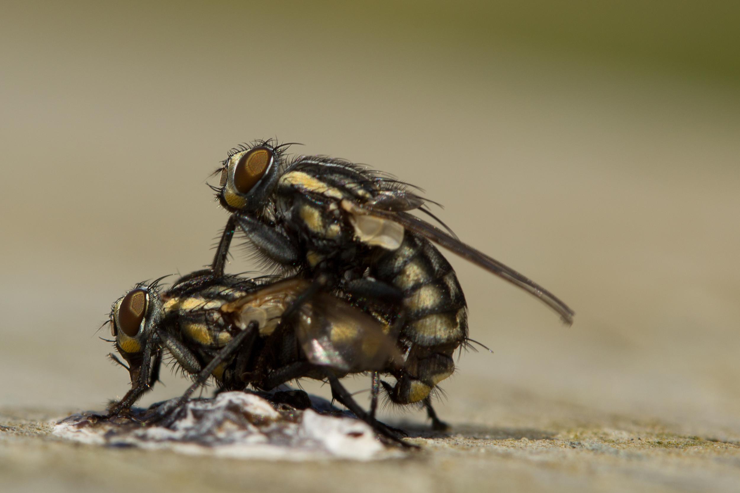 Flies Gone Wild !!