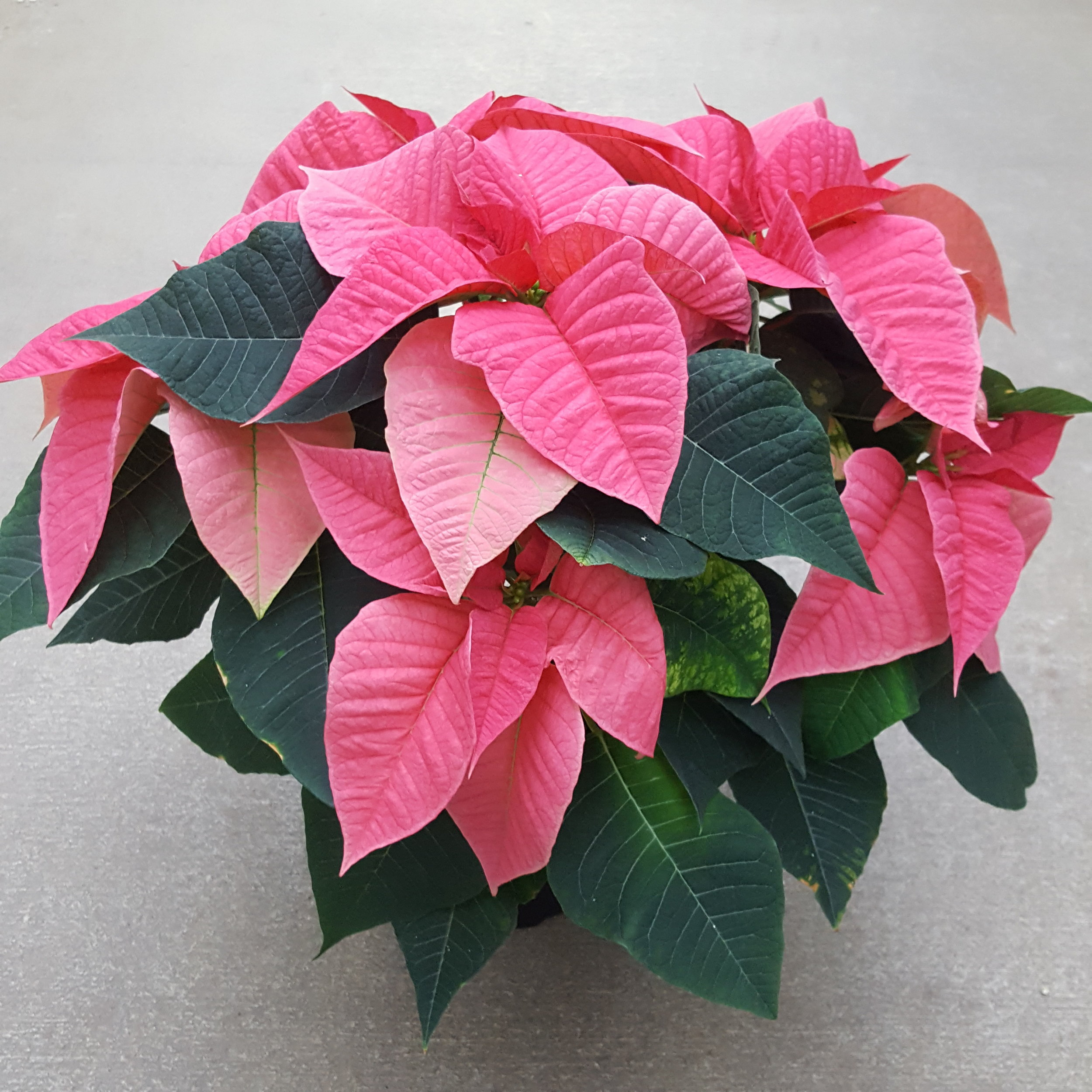 Christmas Lights Poinsettia